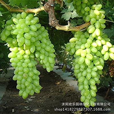 Brand New! Green Grape seed sweet and delicious fruit fruiting bonsai Villa grapes 10 Seeds/Pack