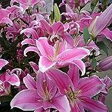 auto sprouter - 50pcs Pink Rare Lily Flower Seeds Planting Flower Lilium Perfume Garden Decor