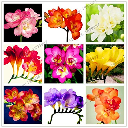(100pcs/bag Freesia Garden Mixed Color Freesia Bulbs Flower Bonsai Flower Bulbs Flowers Orchid Freesia Rhizome Bulbous Flowers)