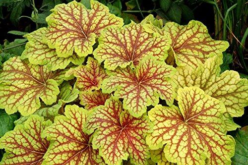 - Red Lightning Coral Bells - Heuchera - Shade Perennial - Gallon Pot