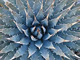 Home Comforts Agave utahensis (Rosette). Location: Nevada, Calico Hills Sandstone Quarry Calico Tanks Trail Red Ro.