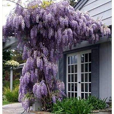 Wisteria Vine Amethyst Falls Great for Bonsai Live Plant SD6 : Garden & Outdoor