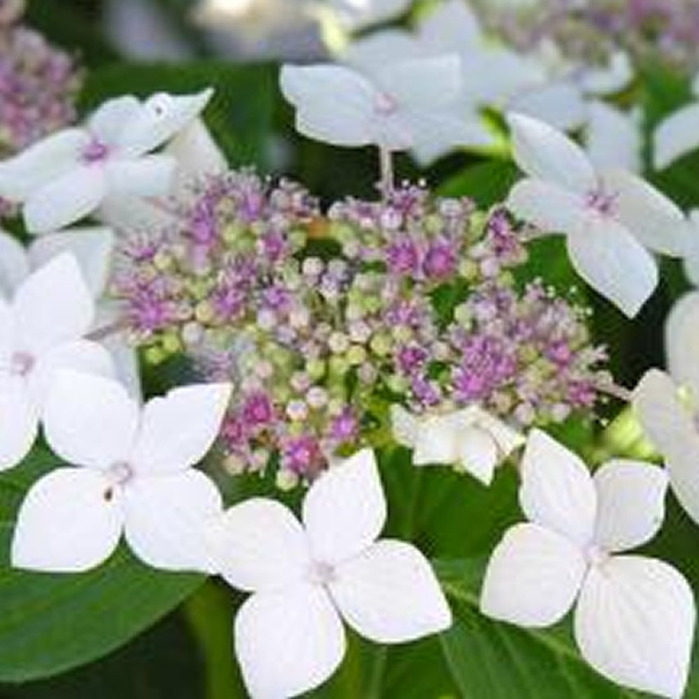 1 X HYDRANGEA MACROPHYLLA 'TELLER WHITE' DECIDUOUS SHRUB HARDY PLANT IN POT Gardener's Dream