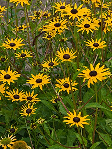 (Burpee Bare Root Rudbeckia 'Pot of Gold' - 3 Bare Root Plants)