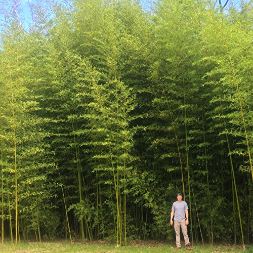 Incense Bamboo Phyllostachys Atrovaginata (2 Gallon 2-3 feet Tall) by Lewis Bamboo (Image #1)
