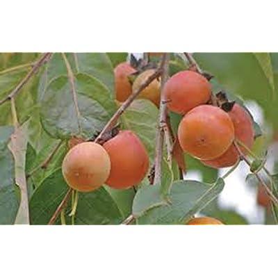 """Persimmon, Diospyros virginiana, (2) 2-3 yr+, 26""""-36"""", Persimmon Fruit Tree, Fruit Trees, Fruits, Fruit, Sweet Fruits, Jam Making, Live Plants : Garden & Outdoor"""
