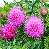 Outsidepride Milk Thistle Herb Plant Seed - 200 Seeds