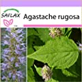 SAFLAX - Korean mint - 1200 seeds - Agastache rugosa