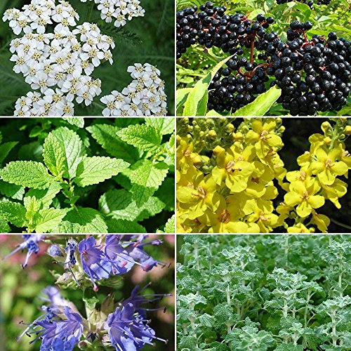 Cold & Flu Season Herb Garden Seed Collection - A 6 Variety Pack of Medicinal Herb Seeds in FROZEN SEED CAPSULES - The Very Best in Long-Term Seed Storage - Plant Seeds Now or Save Seeds for Years (Best Herbs For Cold And Flu)
