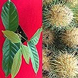 "Yellow Rambutan Nephelium Lappaceum Florida Plant Tree Seedling 7-12"""