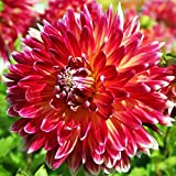 Red Dinner Plate Dahlia Akita (3 Large Bulbs) Huge Blooms | Ships From Easy to Grow TM