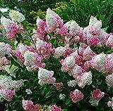 Hydrangea Vanilla Strawberry, 3 GAL