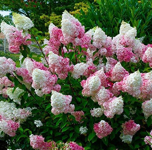 Hydrangea Vanilla Strawberry, 3 GAL by Garden Goods Direct