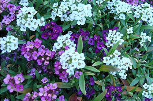 alyssum-lobularia-maritima-mulberry-wonderland-series-fruity-blend-of-lavender-to-purple-compact-nea
