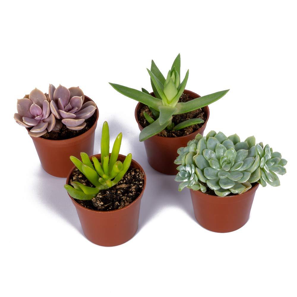 Seville Farms SUC001 Mini Succulent (4 Pack), Green