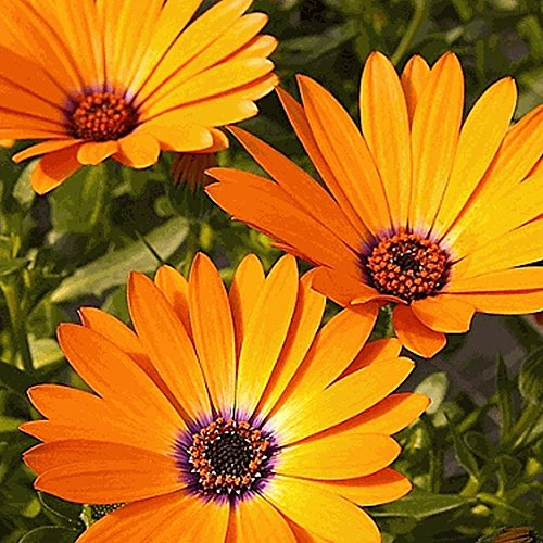 Everwilde Farms - 1000 African Daisy Wildflower Seeds - Gold Vault Jumbo Seed Packet - Jumbo Daisy