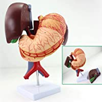 LBYLYH in Human Liver Natural Size, Medicine Human Stomach Liver Gall Bladder Pancreas and Duodenum Model for The School of Anatomy Simulation