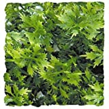 Zoo Med Laboratories SZMBU14 Natural Bushy Australian Maple, Small