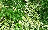 3 Starter Plants of Arundo Donax Golden Chain