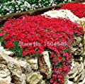 Mr.seeds 50+ perennial flowers groundcover- cress- bright red stones