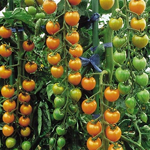 PREMIER SEEDS DIRECT Tomato Cherry - SUNGOLD F1-10 Finest Seeds
