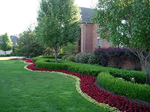 Winter Gem Boxwood Qty 15 Live Plants Evergreen Formal Hedge by Florida Foliage (Image #5)