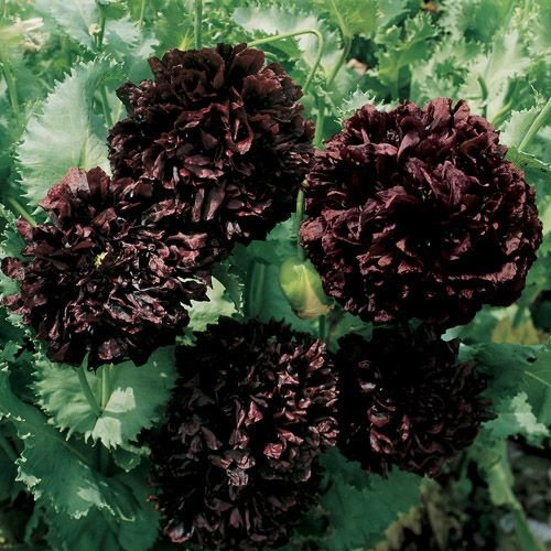 HEIRLOOM NON GMO Gothic Black Cloud Peony Poppy 25 seeds (Peony Poppy)