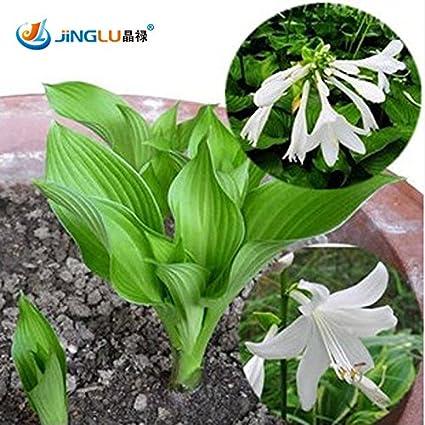 Amazoncom 50 Pcs Bag Hosta Seeds Diy Potted Plants Indoor