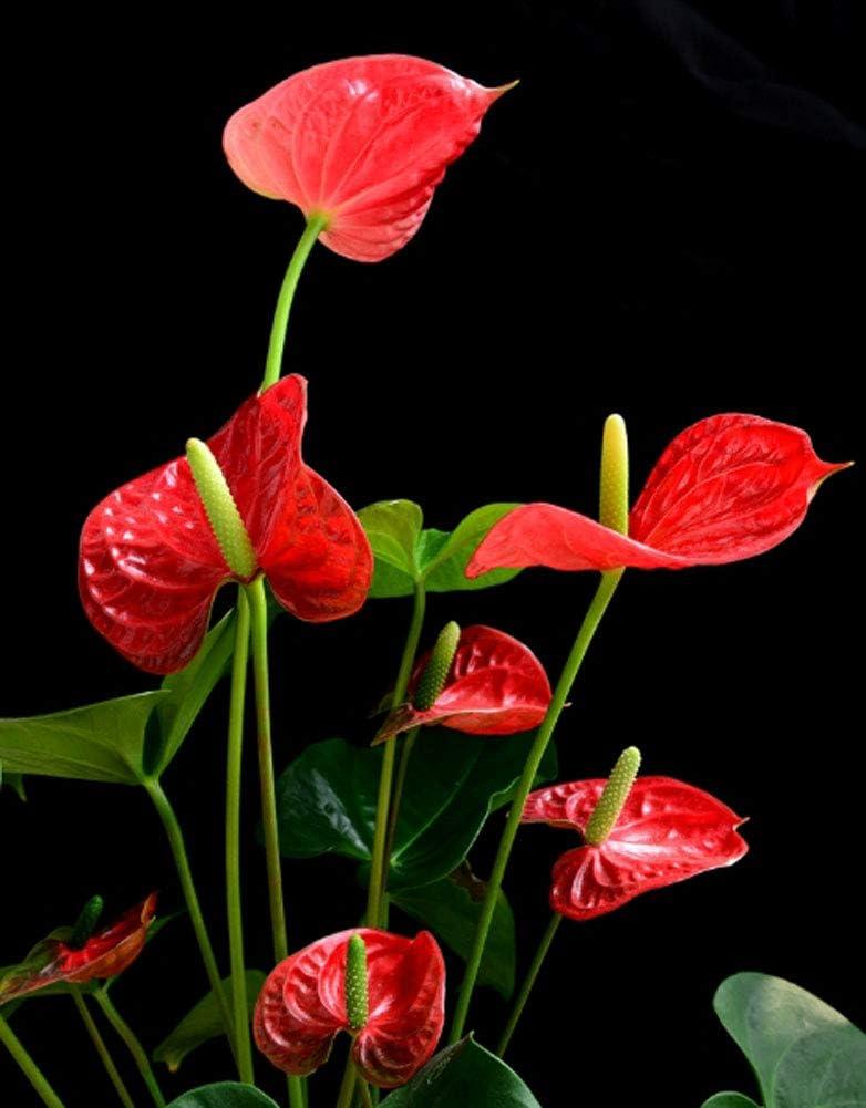 Rarit/ät Exotische Einblatt Spathiphyllum Anthurium Blumensamen 50Pcs Flamingoblume Anthurien Samen Einblatt Bl/ühende Luftreinigende Zimmerpflanze Bonsai Blume Balkon Pflanzen