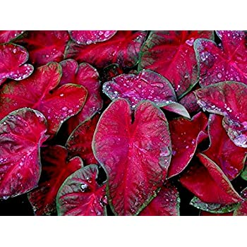 Amazon.com: Caladium Flash, Rojo (6 Bombillas) Prospera en ...