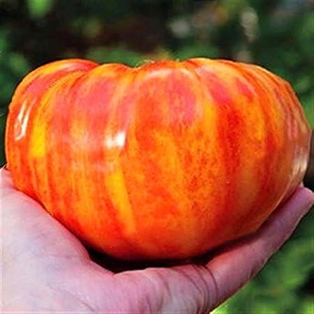 FastDirect Semillas de Tomate Rojo 100 PCS Semillas de Verduras ...
