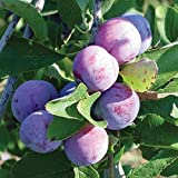 Pixies Gardens (3 Gallon) Blue Damson Plum Trees, Very Old Variety, Hardy, Vigorous and Dependable. Blue Ribbon Winner, Small, Round, Blue-Black Plums. Grafted.
