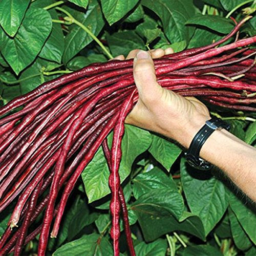 Chinese Red Noodle Long Bean Seeds - 10+ Rare Organic Heirloom Yard Bean Seeds