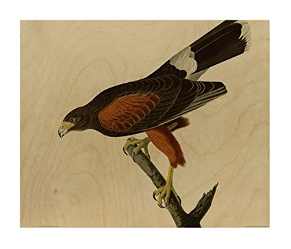 Amazon.com: Louisiana Hawk (Audubon) Wood Print Wall Art Wall Decor ...