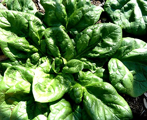 1 Spinach Seeds Ounce (Spinach Viroflay Seeds Pick Sizes to 5LB Bulk Huge Yield Greens #322 (2400 seeds, or 1 oz))