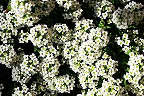 RDR Seeds 1000 Sweet Alyssum Seeds, Carpet of Snow, Sweet Alison, Lobularia Maritima