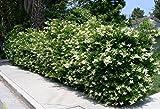 20 Starter Plant Ligustrum Waxleaf Privet
