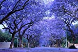 The jacaranda is a small, beautiful flowering tree that grows well in warm climates. Jacaranda is most commonly grown as an ornamental in yards and parks. However, it's also well suited for bonsai growth. Jacaranda is easy to propagate by cut...
