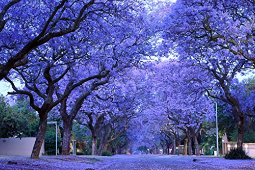 blue-purple-jacaranda-jacaranda-mimosifolia-tree-shrub-heirloom-30-bulk-seeds