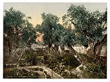 Garden of Gethsemane, Jerusalem, Holy Land