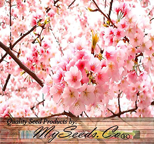 BIG PACK - (100) JAPANESE SAKURA FLOWERING CHERRY, Prunus serrulata Tree Seed - Japanese Cherry Blossom Tree Seeds - By MySeeds.Co (Big Pack - Japanese Sakura)