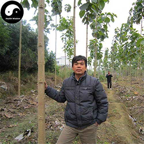 ShopMeeko Seeds:Buy Tectona Grandis Tree Semente 80pcs Plant Golden TIK Rare Hard Wood k You Mu