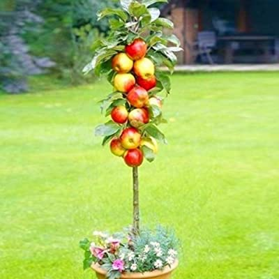 wpOP59NE 50Pcs Delicious Orange Apple Cherry Kiwi Fruit Seeds Bonsai Tree Ornamental - 50pcs Apple Plant Seeds : Garden & Outdoor