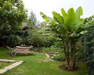"""Winter Hardy Basjoo Banana Plant - Musa - 4"""" POT"""