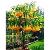 5 Angel's Trumpet Tree Seeds / Free Shipping