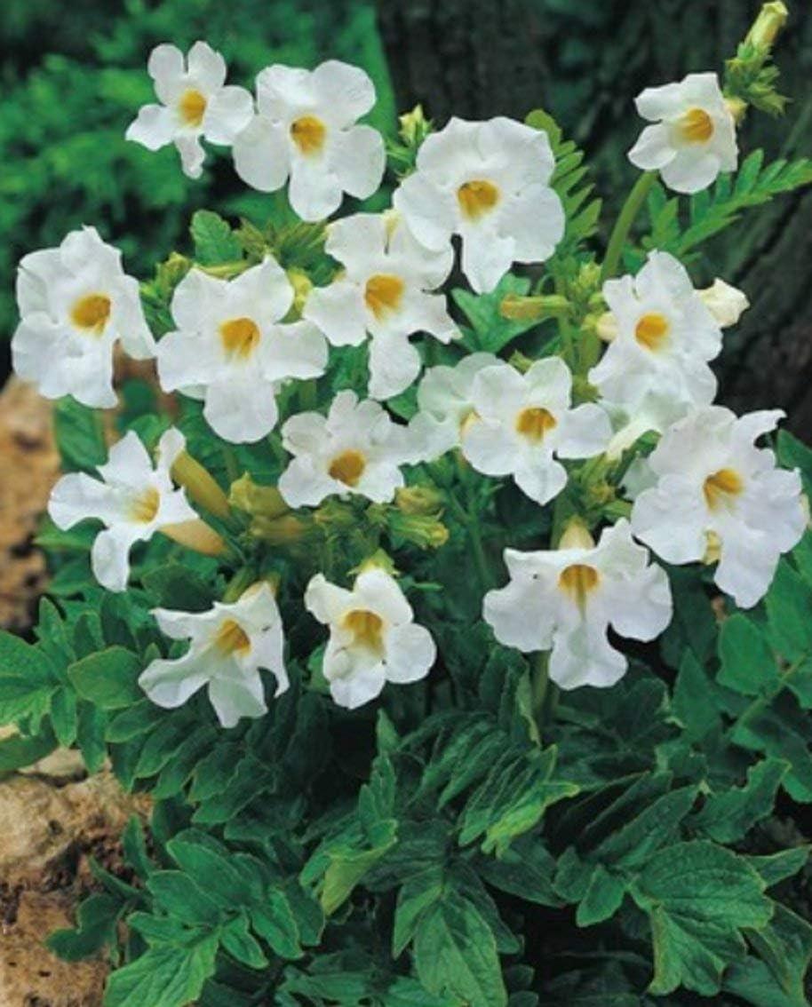 1 Knolle Gartengloxinie in rosa Incarvillea Delavayi Freilandgloxinie Gro/ße Knollen Blumenzwiebeln