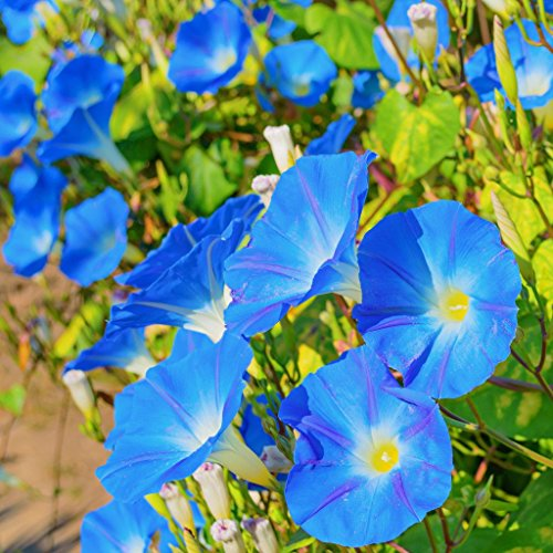 Morning Flower (Morning Glory Seeds Heavenly Blue - Large 1 Ounce Packet - Over 1,000 Flower Seeds)
