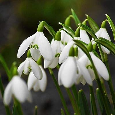 Lanbter Snowdrop Galanthus Seeds Autumn Bulbs Growing Gardening Spring Flower Plants Flowers : Garden & Outdoor