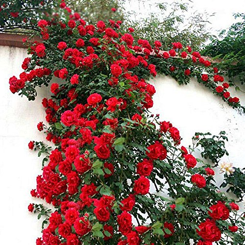 tesyyke 100 Pcs/Set Climbing Rose Seeds Perennial Fragrant Home Garden Plant Multiflora Flower Seed