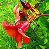 Big Sale!!!100pcs Beautiful Allamanda Seeds Rare Flower Seeds Pot Plant Diy Home Garden